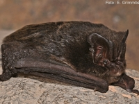 Mopsfledermaus_gross